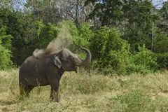 Elefant Sri Lankan - Elephas maximus maximus, Sri Lanka Stockbilder