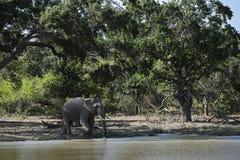 Elefant Sri Lankan - Elephas maximus maximus, Sri Lanka Stockfotos