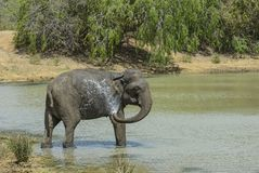 Elefant Sri Lankan - Elephas maximus maximus, Sri Lanka Lizenzfreie Stockbilder