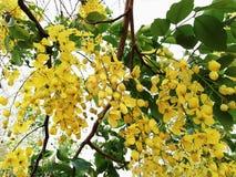 Elefant-Stamm oder Pea Flower, Baum des goldenen Regens oder Amaltas Lizenzfreies Stockbild