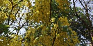 Elefant-Stamm oder Pea Flower, Baum des goldenen Regens oder Amaltas Stockbilder