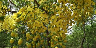 Elefant-Stamm oder Pea Flower, Baum des goldenen Regens oder Amaltas Lizenzfreies Stockfoto