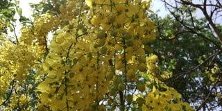 Elefant-Stamm oder Pea Flower, Baum des goldenen Regens oder Amaltas Lizenzfreie Stockfotos