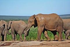 Elefant Stier nach Mudbath Stockfoto