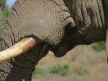 Elefant-Stoßzahn-Nahaufnahme Stockbild