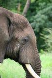 elefant tanzania Royaltyfria Bilder
