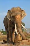 elefant thailand Royaltyfria Foton