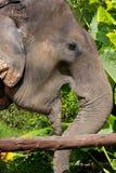 Elefant (Thailand -Thailand-phuket) Royalty-vrije Stock Foto's