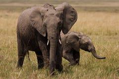 elefant två Fotografering för Bildbyråer