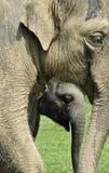 Elefant u. Kalb Stockfotos