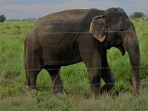 Elefant in Udawalawe Sri Lanka lizenzfreie stockbilder
