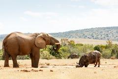 Elefant-und Büffel-Trinkwasser Stockfotos