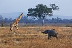 Elefant und Giraffe Stockfotos