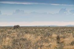 Elefant und Löwin mit konvergierenden Wegen naphtha afrika lizenzfreie stockbilder