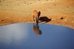Elefant und Pool Stockfotos