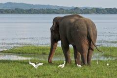 Elefant und Reiher in der Wiese Stockfotos