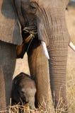 Elefant und Schätzchen bei Chaminuka Stockfotos