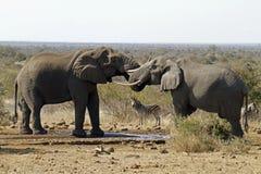 Elefant und Zebra Stockfoto