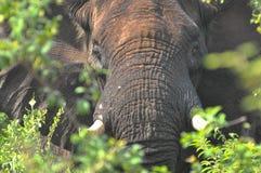 Elefant upp slut, Zimbabwe arkivbild