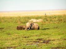 Elefant. Wildlife in Africa Group of Elefant Stock Images