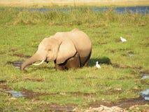Elefant. Wildlife in Africa Young Elefant Stock Photo