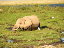 Elefant. Wildlife in Africa Young Elefant Royalty Free Stock Photos