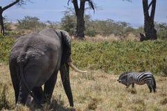 Elefant y zebra Obrazy Royalty Free