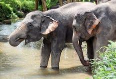 Elefant zwei Lizenzfreies Stockfoto