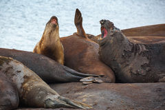Elefantalla som skyddsremsor tillsammans ruggar deras hud i Antarktis Arkivbild