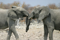 Elefantanlockung Lizenzfreies Stockfoto