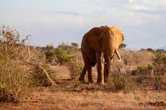 Elefantanseende mellan buskarna, på safari i Kenya Royaltyfri Bild