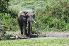 Elefantanseende på ett bevattna hål som omges av frodig grön vegetation arkivbild