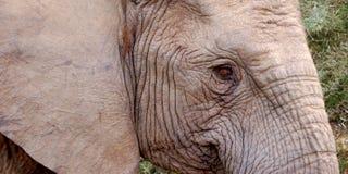 Elefantauge Lizenzfreies Stockfoto