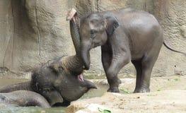 Elefantbadcoachning! Fotografering för Bildbyråer