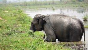 Elefantbadning i den Nepal nationalparken stock video