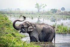Elefantbadning i Nepal Fotografering för Bildbyråer