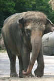 elefantbarn Royaltyfria Foton