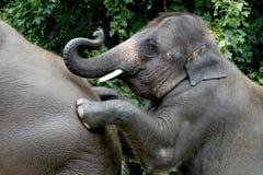 elefantbarn Fotografering för Bildbyråer