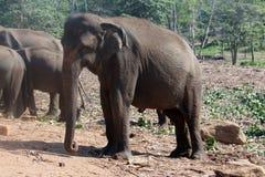 Elefantbarnhem i Pinnawela, Sri Lanka Arkivfoton