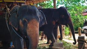 Elefantbauernhof in Asien, ein Ausflug von Touristen auf Elefanten durch den Dschungel reisen stock video footage