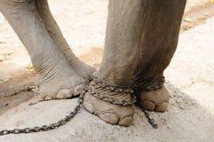 Elefantben kedjas fast, frihet Arkivbilder