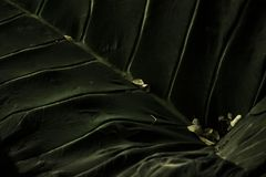 Elefantblad Arkivbild