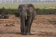 Elefantbull. Stockfoto