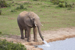 Elefantdricksvatten Arkivfoto