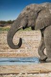 Elefantdricksvatten i savannahen av Etosha Namibia arkivbild