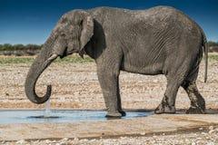 Elefantdricksvatten i savannahen av Etosha Namibia royaltyfri fotografi