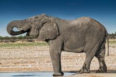 Elefantdricksvatten i savannahen av Etosha Namibia royaltyfri bild