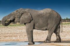 Elefantdricksvatten i savannahen av Etosha Namibia royaltyfria foton