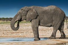Elefantdricksvatten i savannahen av Etosha Namibia royaltyfria bilder