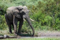 Elefantdricksvatten med hans stam royaltyfria foton